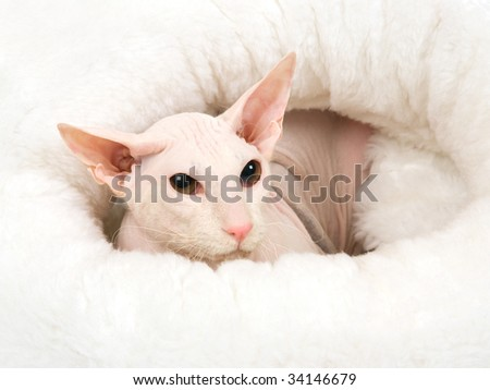 Closeup hairless Peterbald white cat in fur bed, on white background