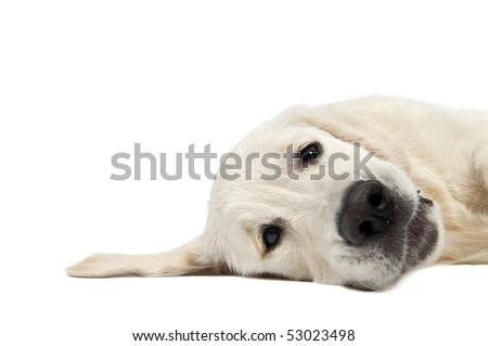 closeup head of Golden Retriever dog lying on the floor isolated