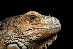 Closeup Head of Green Iguana Looks Kind Isolated on Black Background