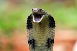 Closeup head of king cobra snake, king cobra closeup face, reptile closeup