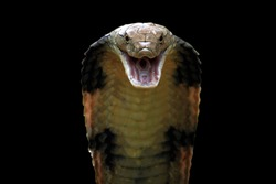 Closeup head of king cobra snake, king cobra closeup face, reptile closeup with black background