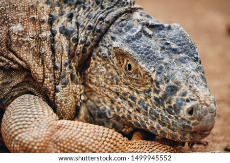 Closeup head of large iguana with scaly skin resting on ground in zoo on Tenerife Island #1499945552