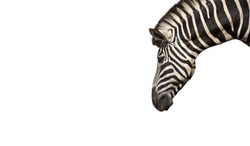 Closeup Head of Zebra Isolated on White Background, Clipping Path