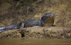 Closeup head on portrait of Black Caiman (Melanosuchus niger) resting on riverbank Pampas del Yacuma, Bolivia.