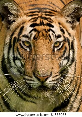 Closeup head shot of a Royal Bengal Tiger staring straight into the camera