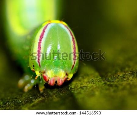 Closeup head shot of a Saddled Prominent Caterpillar crawling along a wooden plank.
