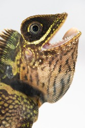 Closeup head shot of Blue-eyed anglehead lizard, Gonocephalus liogaster, on a white background.