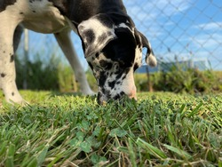 Closeup head shot portrait of black and white Great Dane, low angle view of large dog sniffing in the green grass with blurred blue sky background in rural area