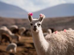 Closeup headshot portrait of a happy llama lama glama camelid mammal wildlife animal smiling at camera in Uyuni Sur Lipez Potosi Bolivia South America