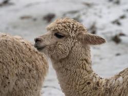 Closeup headshot portrait of a llama lama glama camelid mammal wildlife animal in winter snow at Vinicunca Rainbow Mountain Cusco Peru Andes South America