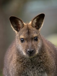 Closeup headshot portrait of female red-necked wallaby macropus rufogriseus in Bleichnau Baden-Wuerttemberg Germany