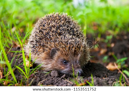 Closeup hedgehog in green grass on black ground. Cute hedgehog face with beady eyes. Erinaceus europaeus. Nocturnal animal in wildlife. Many spiny prickles for protection. Single hedgehog in garden.