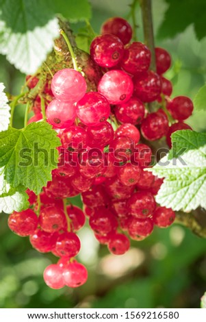 closeup homegrown red currant on the panicle with some visible leafes