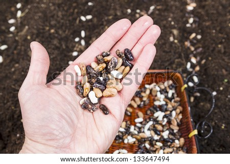 Closeup horizontal photo of green bean seeds in hand, with garden and basket of seeds in background