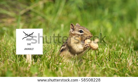 "Closeup image of a cute chipmunk in the grass with a peanut and a sign with ""do not feed the animals"" with the do not scratched out."