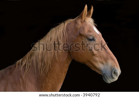closeup image of a saddlebred horse over a black background #3940792