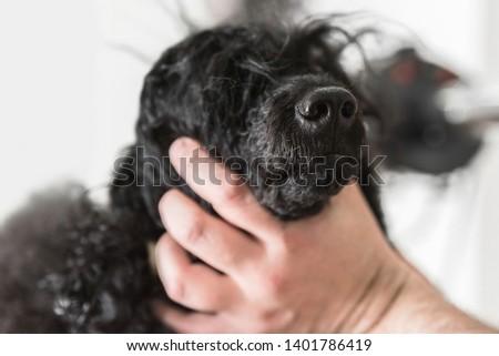 Closeup image of adorable black poodle snout, Dog's sense of smell concept