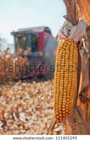 Closeup image of corn, harvesting machinery working in corn field