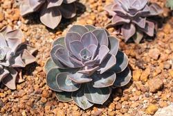Closeup image of Echeveria Perle von Nurnberg in botanic garden