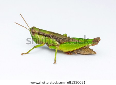 closeup image of green grasshopper in front of white background/selective focus/soft/grain/noise #681330031