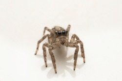 Closeup image of jumping spider with very clear and shiny eyes