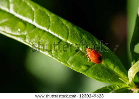Closeup image of red cucurbit beetle on the green leaf  with blurred background.