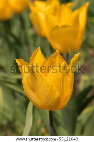 Closeup image of yellow tulip on flowered bed