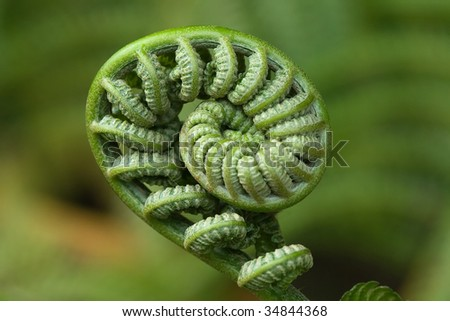 Closeup image on an unfurling fiddlehead. Taken on Hawaii's Volcano National Park.