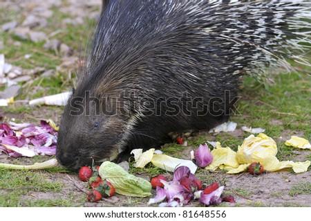 Closeup Indian Crested Porcupine (Hystrix indica) eating vegetables