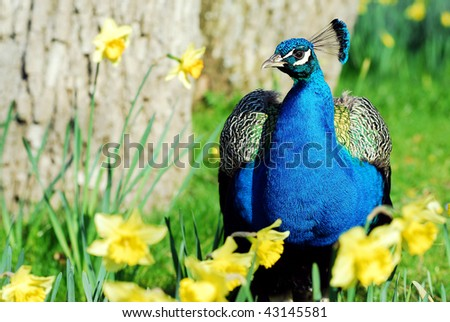 Closeup Indian Peafowl (Pavo cristatus) seen from the front among narcissus flowers