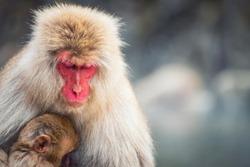 Closeup Japanese Snow monkey Macaque mother sleep and hug its baby to prevent cold at Jigokudani Park at winter, Yamanouchi, Nagano, Japan. Famous travel landmark to see wildlife.