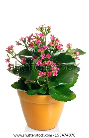 closeup kalanchoe flowering plant in pot on a white background #155474870