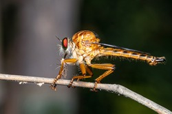 Closeup killer fly or robber fly on tree branch. Beautiful macro shot of killer fly with blurry background.