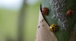 Closeup Ladybug on bamboo in sunshine