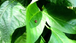 Closeup LadyBug on Green Leaves in Garden, Bug With Plant.