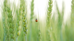 Closeup ladybugs sitting on the wheat ears or pods in sunset sky background. Unripe green wheat plants growing in large farm field. insects feeding crops in rural villages India