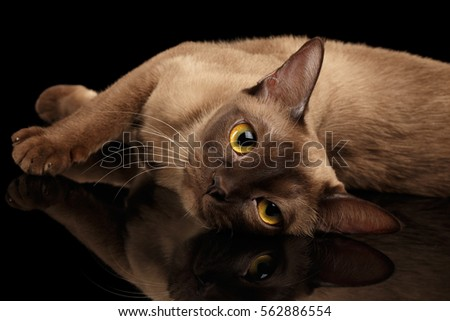 Closeup Lazy burmese cat lying and looking in camera on isolated black background with reflection