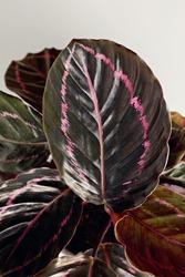 Closeup leaf of Calathea Roseopicta (Dottie).
