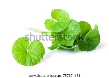 Closeup leaf of Gotu kola, Asiatic pennywort, Indian pennywort on white background, herb and medical concept, selective focus Zdjęcia stock ©