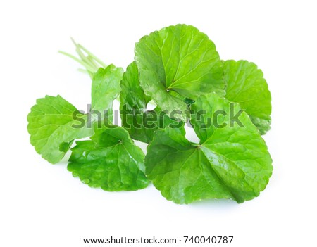 Closeup leaf of Gotu kola, Asiatic pennywort, Indian pennywort on white background with water drop, herb and medical concept, selective focus Zdjęcia stock ©