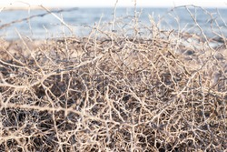 Closeup leafless barren thorny bush with tangled branches, dry dead plant with thorns on branches in Ayia Napa coast in Cyprus, selective focus