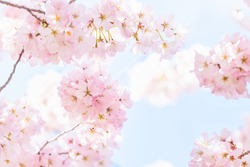 Closeup, looking up view on one vibrant pink cherry blossoms on sakura tree branch with flower petals in spring at Washington DC with sunshine, sunlight and backlight
