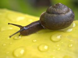 Closeup macro black snail (arianta arbustorum) walking on green leaf with rain dops and blurred background ,garden snail