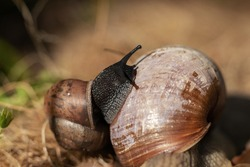 Closeup macro black snail on green leaf. Forest