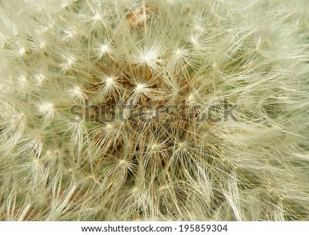 Closeup macro detail of dandelion in summer time