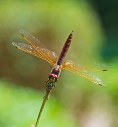 Closeup macro detail of red eyed dragonfly Pachydiplax longipennis on plant stalk in field meadow