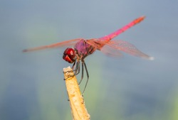 Closeup macro detail of red meadowhawk dragonfly Sympetrum illotum on plant stalk in field meadow