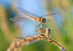Closeup macro detail of wandering glider dragonfly Pantala flavescens on plant stem above grass in garden