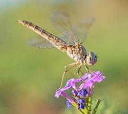 Closeup macro detail of wandering glider dragonfly Pantala flavescens on purple flower in garden