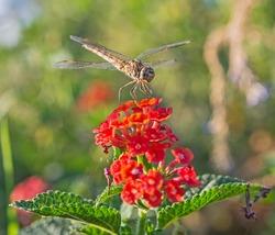 Closeup macro detail of wandering glider dragonfly Pantala flavescens on red lantana rose flower in garden